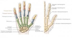 schema indiquant lanatomie de la main avec un dessin montrant les os presents dans la main