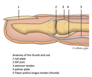 Anatomy of the tip of the finger, the thumb, and the nail