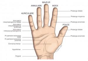 schema indiquant les differentes parties presentes sur la main
